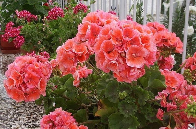 Для пышного цветения герани нужно знать когда и как ее обрезать
