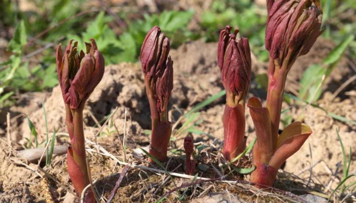 Как посадить пионы весной – пошаговый мастер-класс с фото