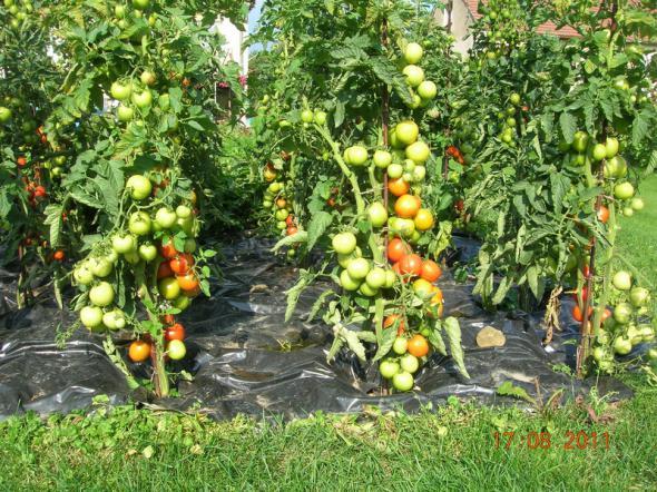 Не ожидал такого интереса к моим помидорам