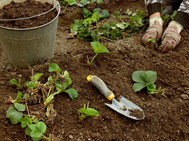 Посадка клубники весной: пошаговая инструкция для новичков