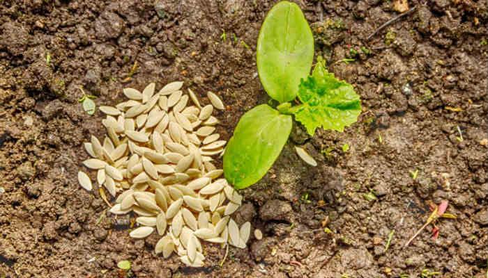 Посев огурцов на рассаду