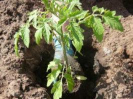 Что необходимо класть в лунку при посадке помидоров?
