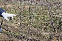 Как превратить куст смородины в дерево?