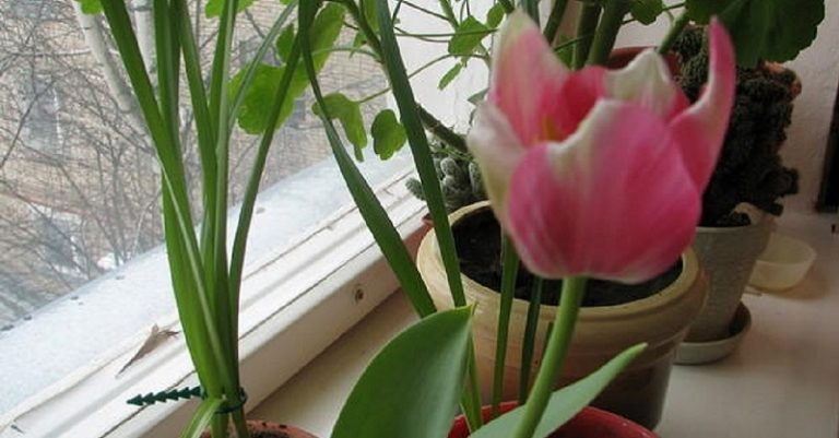 Как вырастить тюльпаны у себя дома без земли. Удивительный богатый цветник на твоем подоконнике