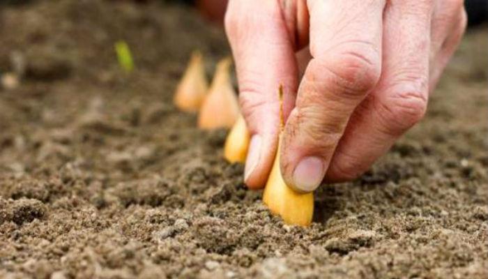 Как я готовлю лук-севок к посадке