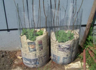 Картофель в бочке - максимальный урожай с минимальной площадью