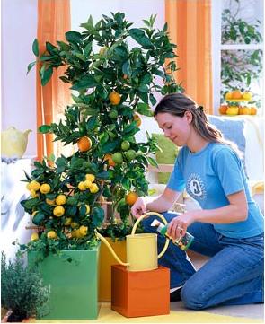 Комнатный лимон - проблемы при выращивании