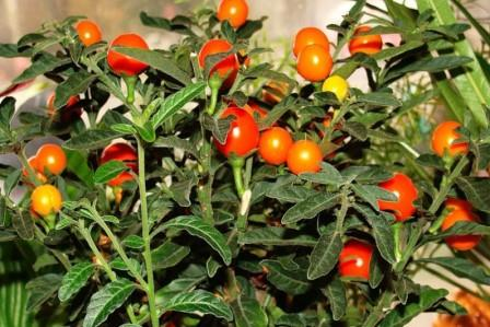 Комнатный паслен - декоративные помидоры на вашем окне