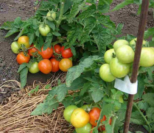 Лучшие сорта томатов: многолетний опыт