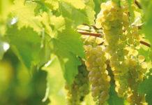 Наиболее распространенные ошибки виноградарей
