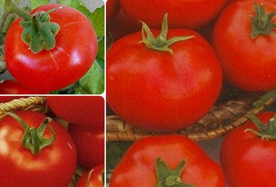 Низкорослые томаты - самые урожайные сорта