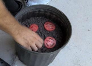 Он положил 4 ломтика помидора в ведро с почвой