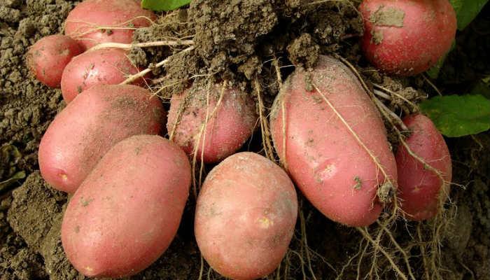 Правильное внесение удобрений под картофель удвоит урожай