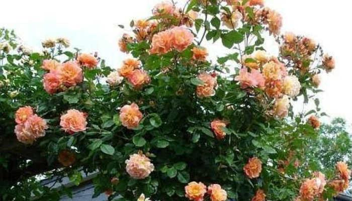 Сажаем в саду плетистые розы!
