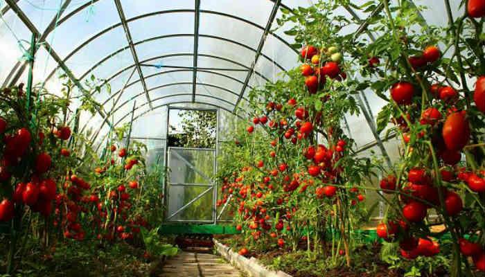 Выращивание помидоров в теплице. Основные моменты