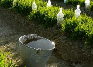 Коровяк – незаменимое удобрение для сада и огорода