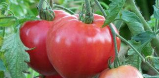 Лучшие сорта розовых помидоров
