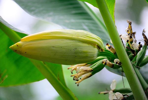 Можно ли вырастить банан в домашних условиях?