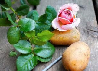 Он втыкает розу в картошку и сажает ее в горшок