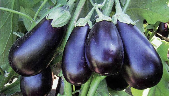 Особенности выращивания баклажанов