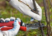 Смородина: поторопитесь с обрезкой!