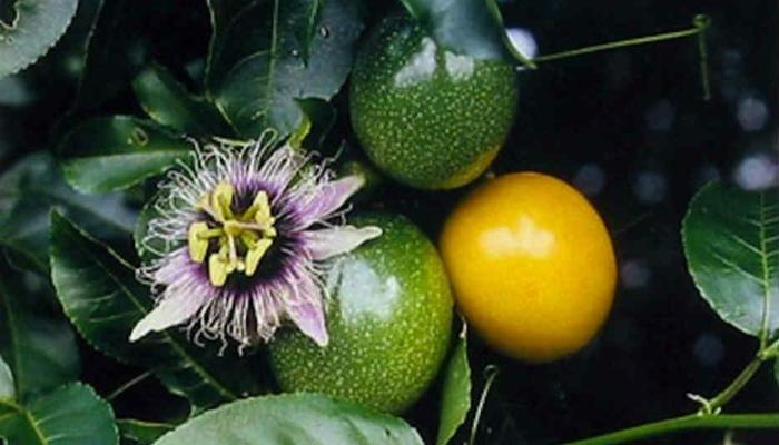 Маракуйя – выращивание и уход в домашних условиях