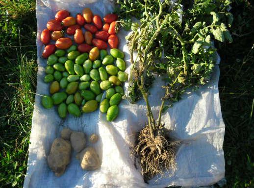 Томатокартофель - урожай томатов и картофеля с одного куста