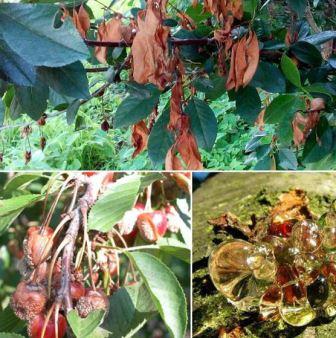 Топ-5 самых опасных болезней вишни и сливы