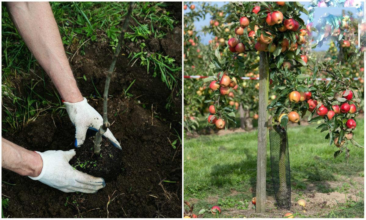 Плодовые деревья какие лучше сажать 302