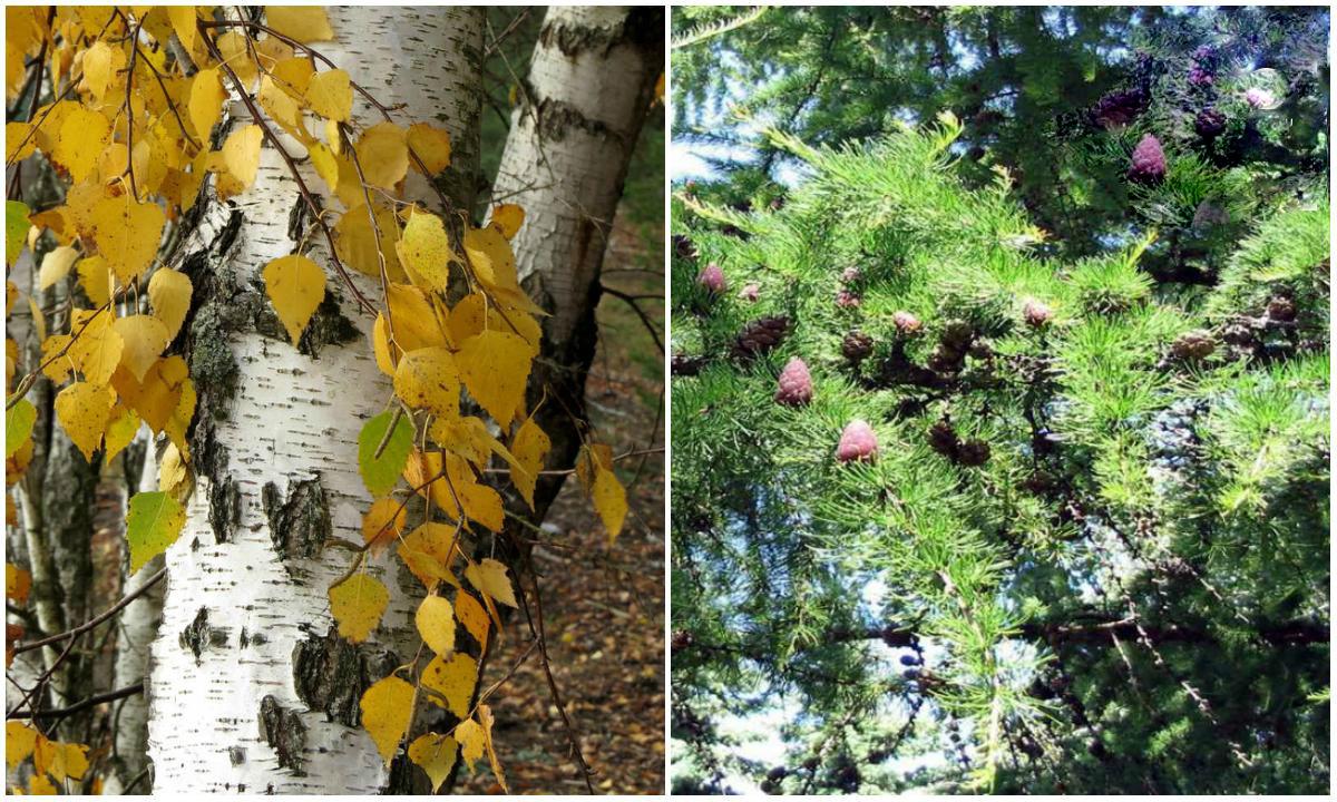 Деревья, которые нельзя сажать рядом