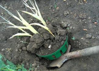 Июнь: срочно выкапываем луковицы тюльпанов!