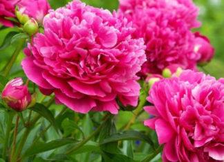 Как вырастить пионы с крупными цветками