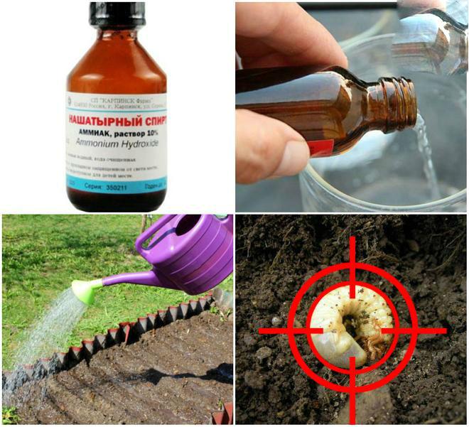 Майский жук: какими растениями питается и как бороться с личинками вредителя