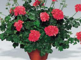 Пышная пеларгония – секреты обильного цветения