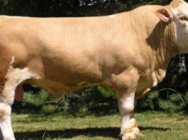 Выгодно ли держать бычков на мясо