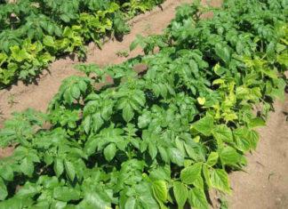 Защитные кулисы в огороде: что это и для чего нужны