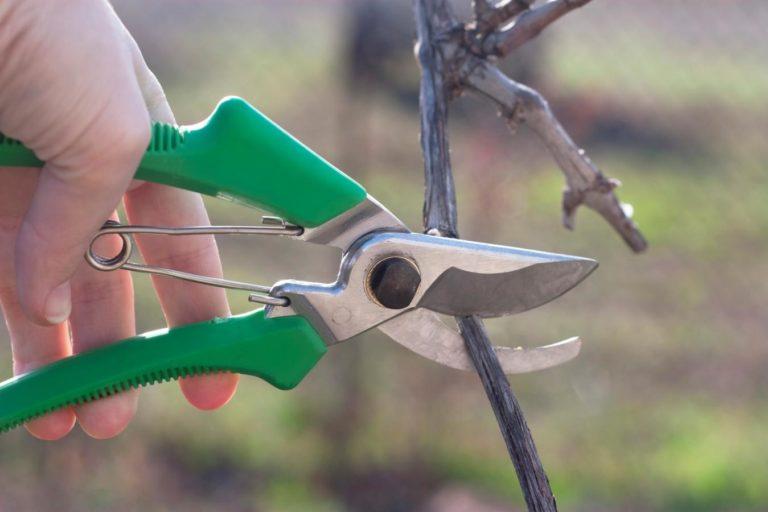 можно ли пересадить взрослый куст винограда осенью того, бельё должно