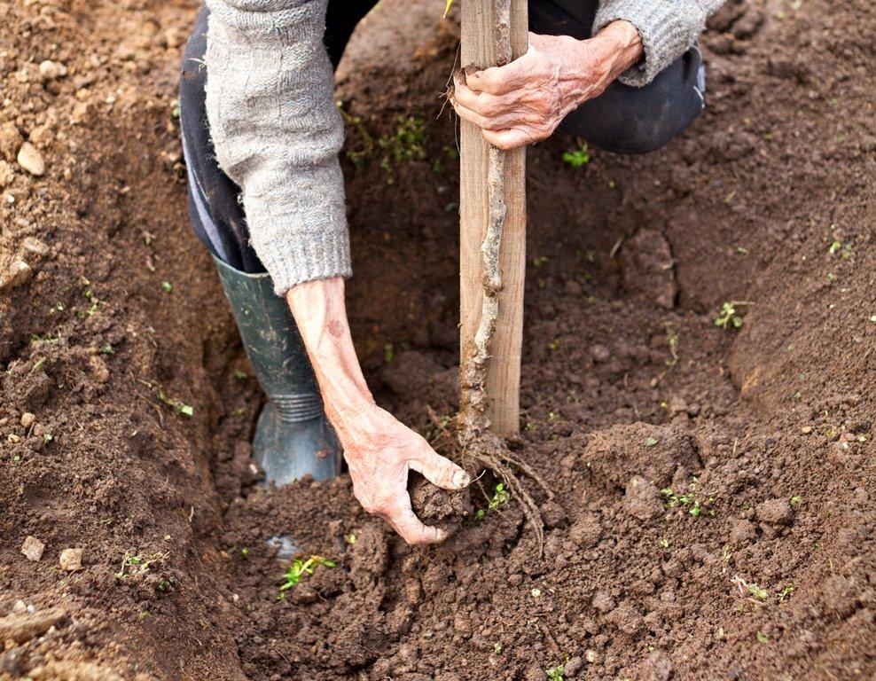 Когда и как сажать плодовые деревья осенью 41