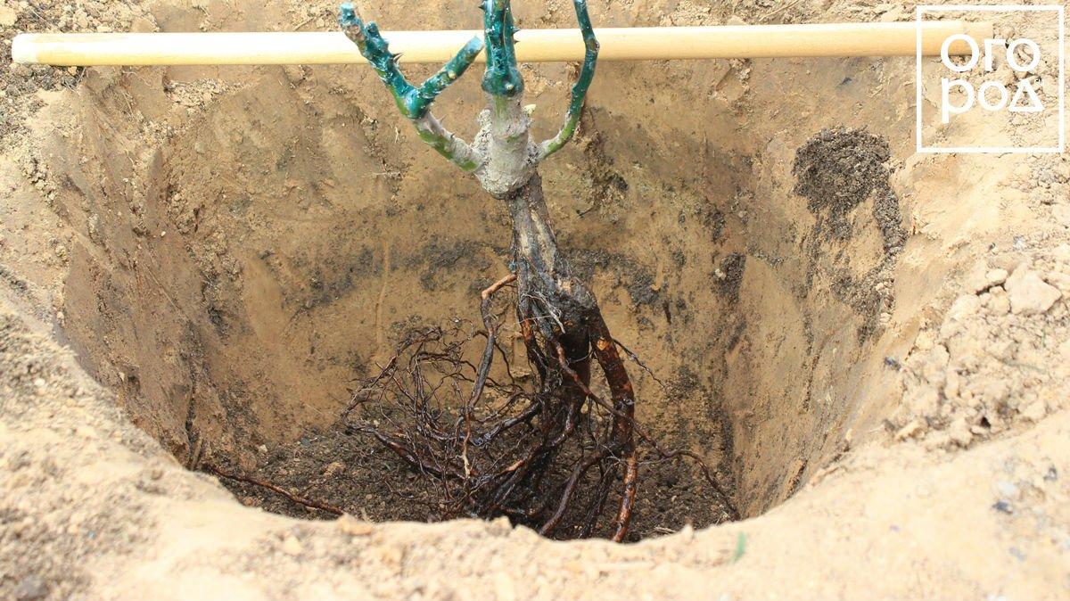 Как сажать деревья когда близко грунтовые воды
