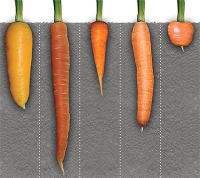 Когда сажать в мае морковь 67