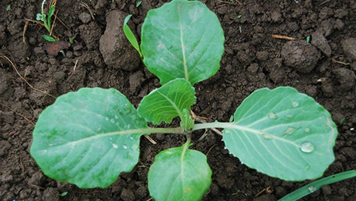 Капуста семена лучшие сорта: посадка и уход