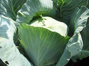 Какой сорт цветной капусты лучше сажать в подмосковье в открытый грунт 8