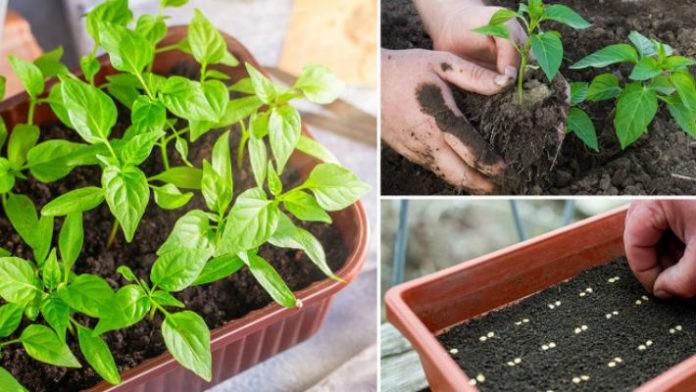 посев семян перца 2021
