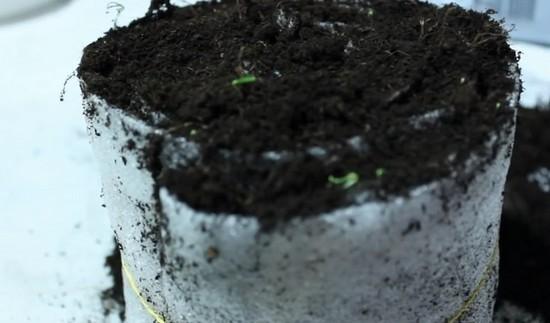 Как выращивать рассаду в целлофане на туалетной бумаге?