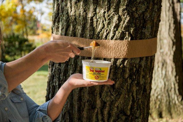 Клейкий пояс для деревьев