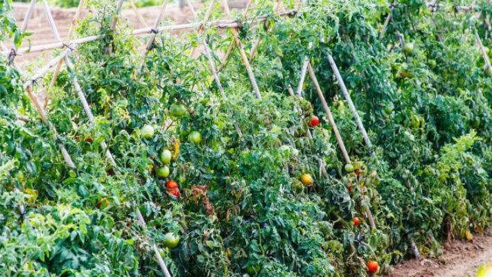 На каком расстоянии сажать помидоры в теплице 80