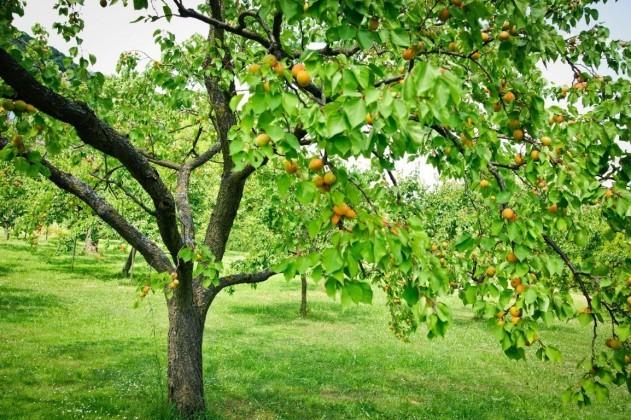 Что можно сажать рядом с персиком