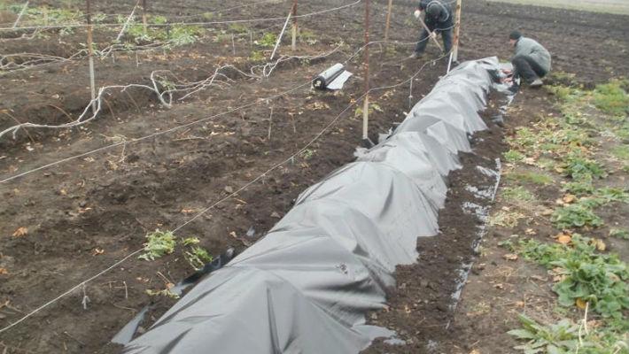 При какой температуре укрывать виноград на зиму?