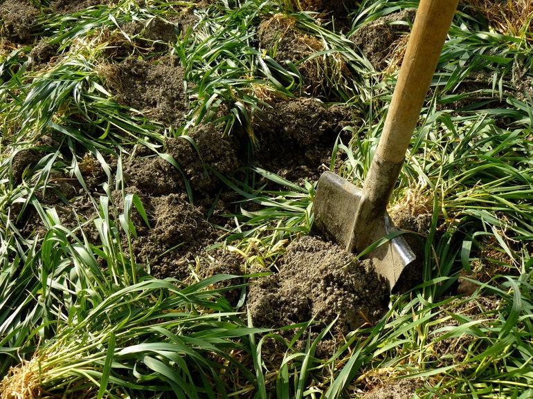 Применение скошенной травы и сидератов