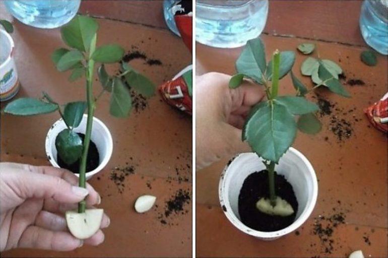 Как с помощью картофеля укоренить розу
